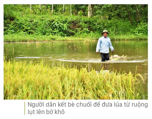 Nông dân miền Trung dầm mình cứu lúa sau mưa bão  ảnh 37