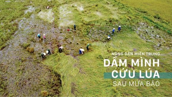 Nông dân miền Trung dầm mình cứu lúa sau mưa bão