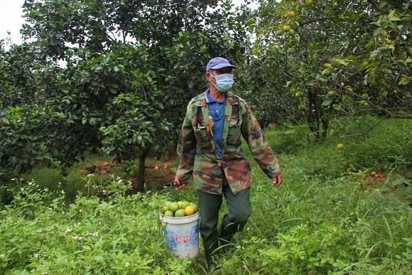 Nông dân Quảng Trị tìm đầu ra cho trái cam ảnh 3
