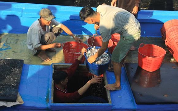 Ngư dân Quảng Ngãi trúng đậm cá cơm ảnh 6