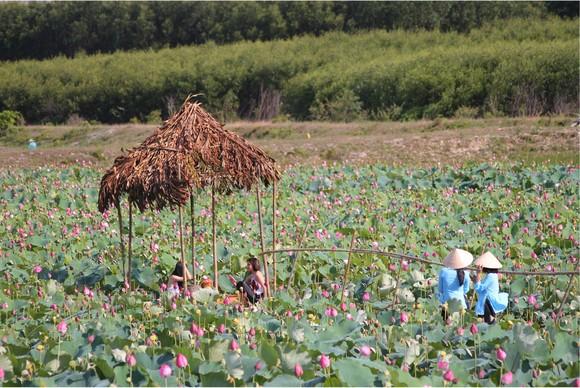 Nông dân dầm mình dưới bùn thu hoạch sen ảnh 27