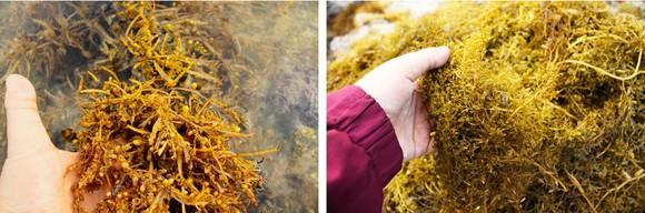 Vẻ đẹp của rong mơ biển trong mùa thu hoạch ảnh 11