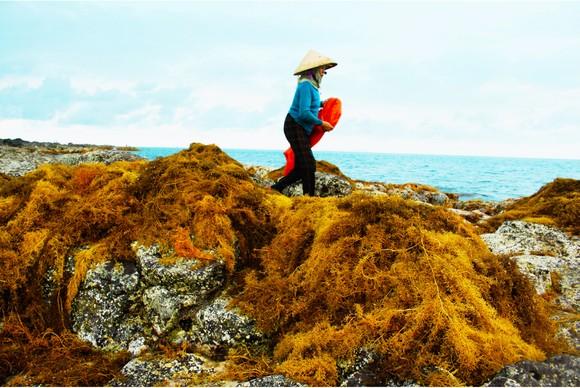 Vẻ đẹp của rong mơ biển trong mùa thu hoạch ảnh 17