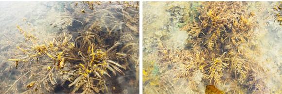 Vẻ đẹp của rong mơ biển trong mùa thu hoạch ảnh 22