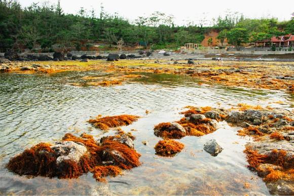 Vẻ đẹp của rong mơ biển trong mùa thu hoạch ảnh 2