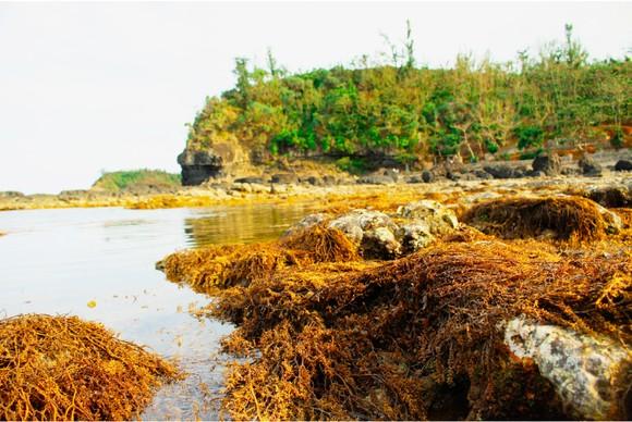 Vẻ đẹp của rong mơ biển trong mùa thu hoạch ảnh 4