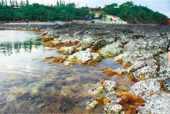 Vẻ đẹp của rong mơ biển trong mùa thu hoạch ảnh 7