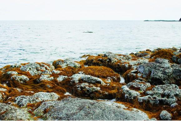 Vẻ đẹp của rong mơ biển trong mùa thu hoạch ảnh 8