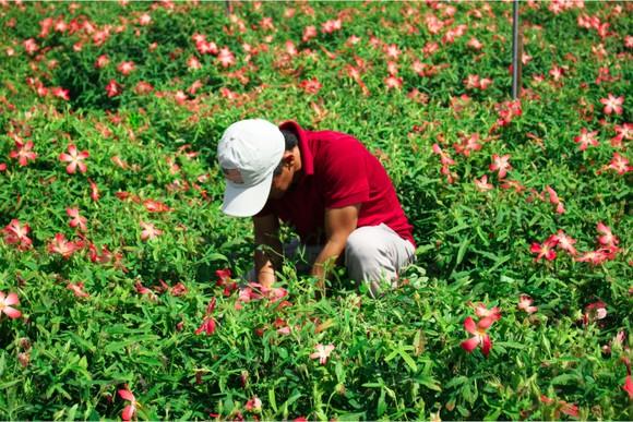 Sâm Bố Chính nở hoa rực rỡ trên đất Quảng Ngãi ảnh 11