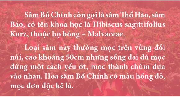 Sâm Bố Chính nở hoa rực rỡ trên đất Quảng Ngãi ảnh 14