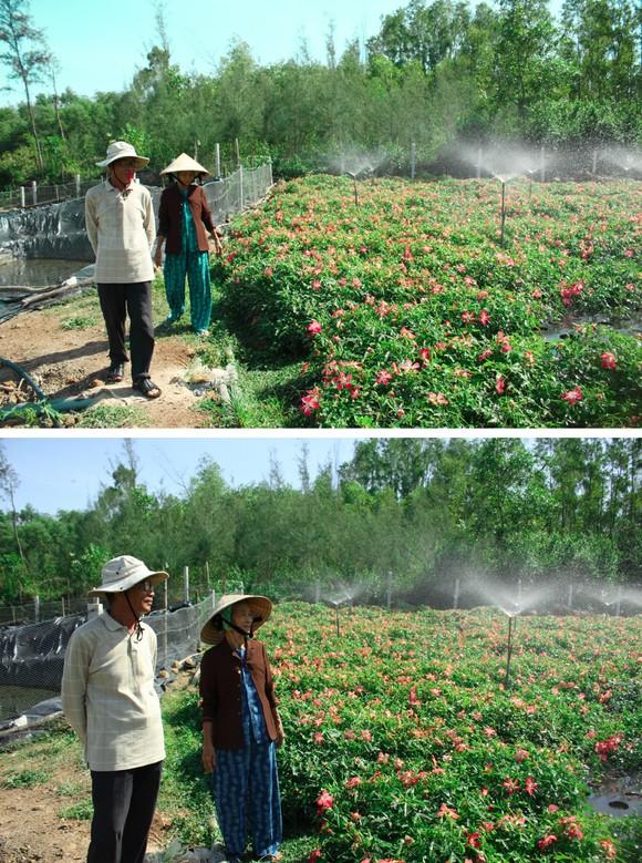 Sâm Bố Chính nở hoa rực rỡ trên đất Quảng Ngãi ảnh 15