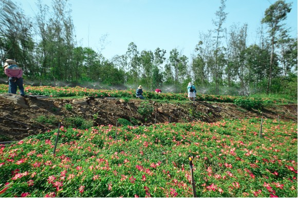 Sâm Bố Chính nở hoa rực rỡ trên đất Quảng Ngãi ảnh 36