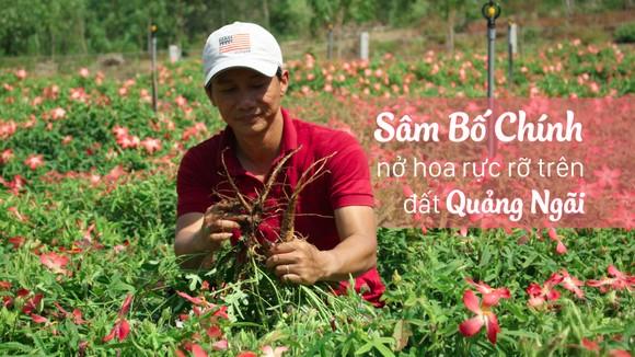 Sâm Bố Chính nở hoa rực rỡ trên đất Quảng Ngãi