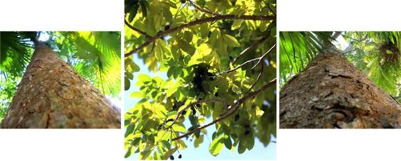Hà Tĩnh vào mùa thu hoạch quả trám đen ảnh 19