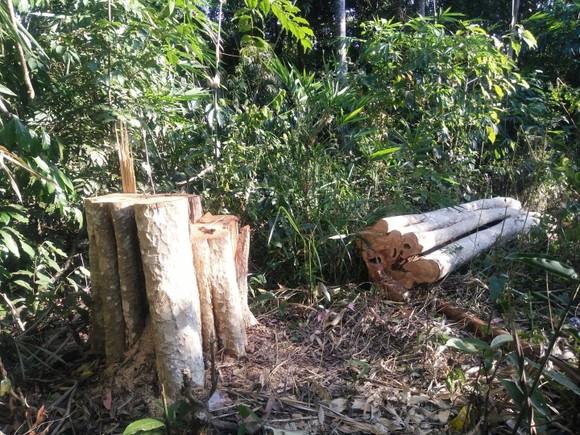 Khởi tố vụ phá rừng quy mô lớn ở Đắk Nông ảnh 1