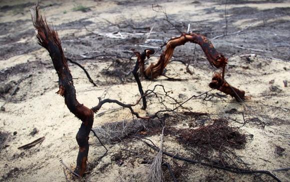 Nhiều héc ta rừng phòng hộ ven biển Bình Định bị san phẳng ảnh 3
