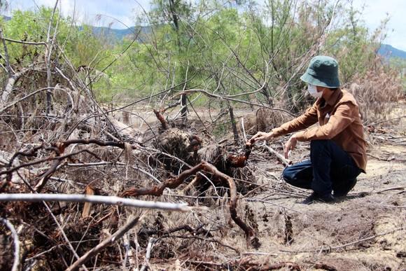 Nhiều héc ta rừng phòng hộ ven biển Bình Định bị san phẳng ảnh 6