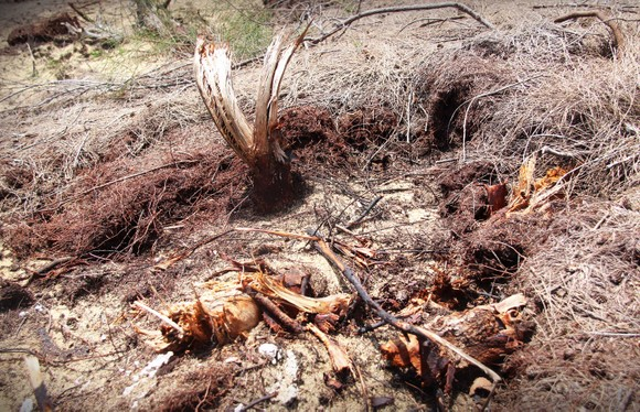 Nhiều héc ta rừng phòng hộ ven biển Bình Định bị san phẳng ảnh 4