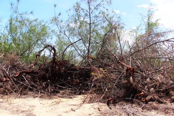 Nhiều héc ta rừng phòng hộ ven biển Bình Định bị san phẳng ảnh 16