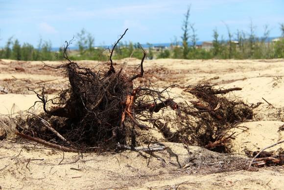 Nhiều héc ta rừng phòng hộ ven biển Bình Định bị san phẳng ảnh 5