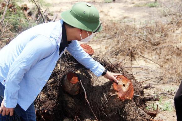 Nhiều héc ta rừng phòng hộ ven biển Bình Định bị san phẳng ảnh 7