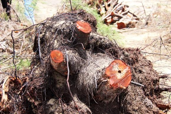 Nhiều héc ta rừng phòng hộ ven biển Bình Định bị san phẳng ảnh 8