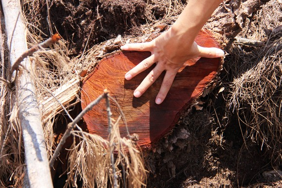 Nhiều héc ta rừng phòng hộ ven biển Bình Định bị san phẳng ảnh 10