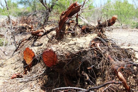 Nhiều héc ta rừng phòng hộ ven biển Bình Định bị san phẳng ảnh 9