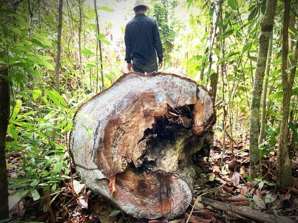 Vụ 40 cây dầu rái cổ thụ bị 'xẻ thịt' ở Quảng Ngãi: Kiểm điểm toàn Hạt Kiểm lâm ảnh 2