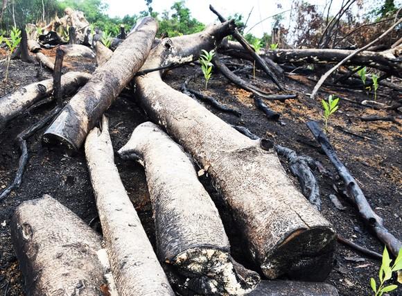 Phú Yên: Bắt thêm 2 đối tượng phá trắng rừng ở huyện Sơn Hòa ảnh 3