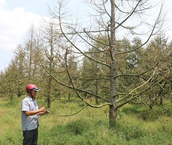 Hàng ngàn ha vườn cây đặc sản ở ĐBSCL bị thiệt hại do hạn mặn ảnh 3