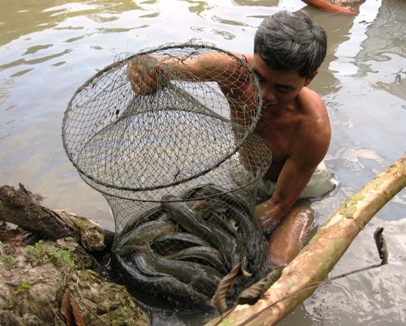 Nhiều hộ thua lỗ cá tra đã chuyển sang nuôi cá trê, cá lóc ảnh 3