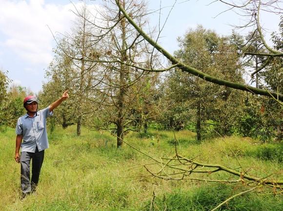 Hơn 11.180ha cây ăn trái ở ĐBSCL mất trắng do hạn mặn ảnh 2