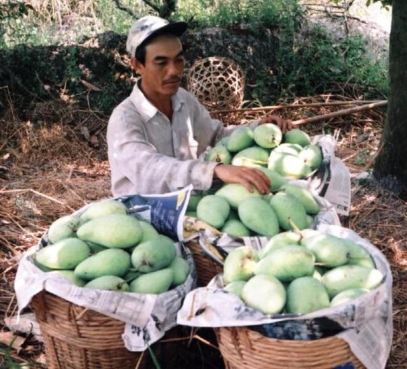 Hơn 11.180ha cây ăn trái ở ĐBSCL mất trắng do hạn mặn ảnh 3