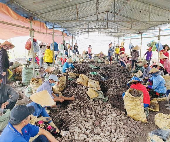 Đẩy mạnh tiêu thụ khoai lang cho nông dân với giá 3.000 - 5.000 đồng/kg ảnh 2