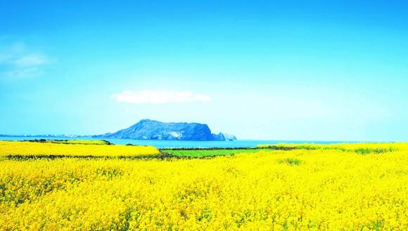 Chạy trên những cánh đồng hoa mùa xuân ở Jeju ảnh 2
