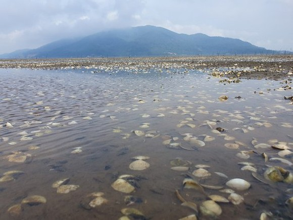 Thousands of tons of clams raised by farmers in Ha Tinh Province were killed, causing huge losses for farmers. (Photo: SGGP)