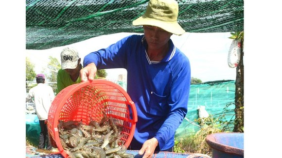 Low shrimp prices cause difficulties for farmers, enterprises