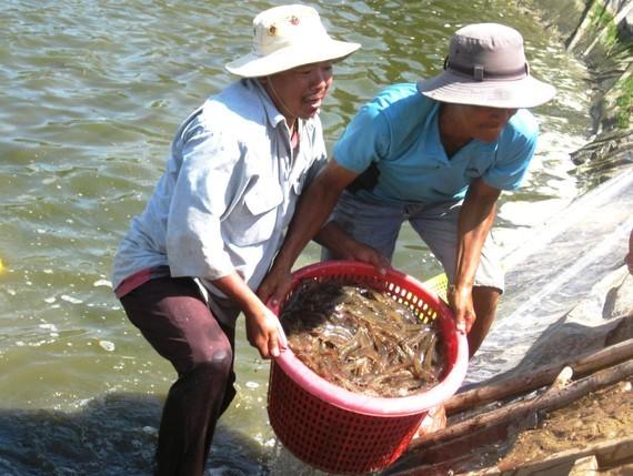 Farmers harvest shrimps in Soc Trang Province. (Photo: SGGP)
