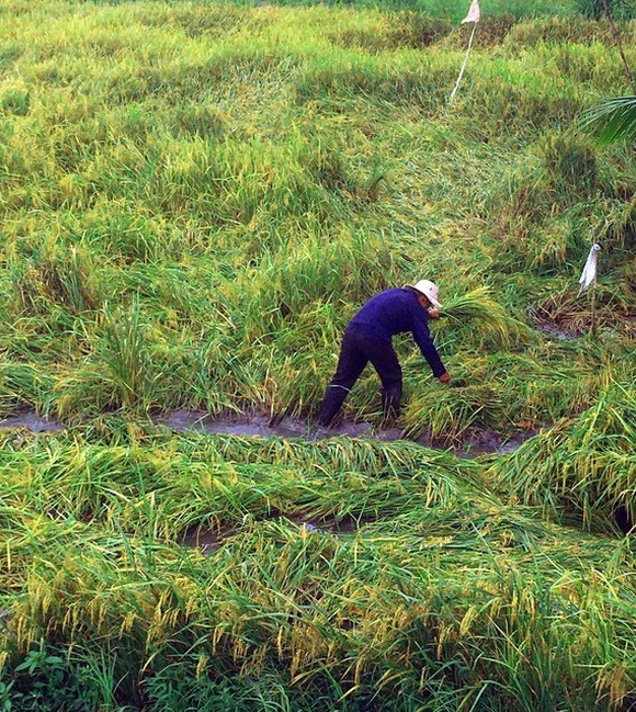 A farmer in Hau Giang Province makes drainage ditches for rainwater to recede, hoping that his fallen paddy will not sprout. (Photo: SGGP)