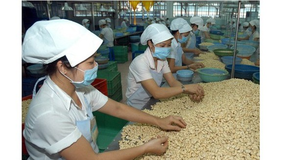 Workers process cashew nuts for export in Binh Phuoc Province. (Photo: SGGP)