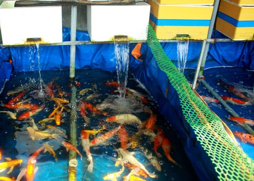 Young man starts career by raising Koi fish earning yearly income of US$21,327 ảnh 1