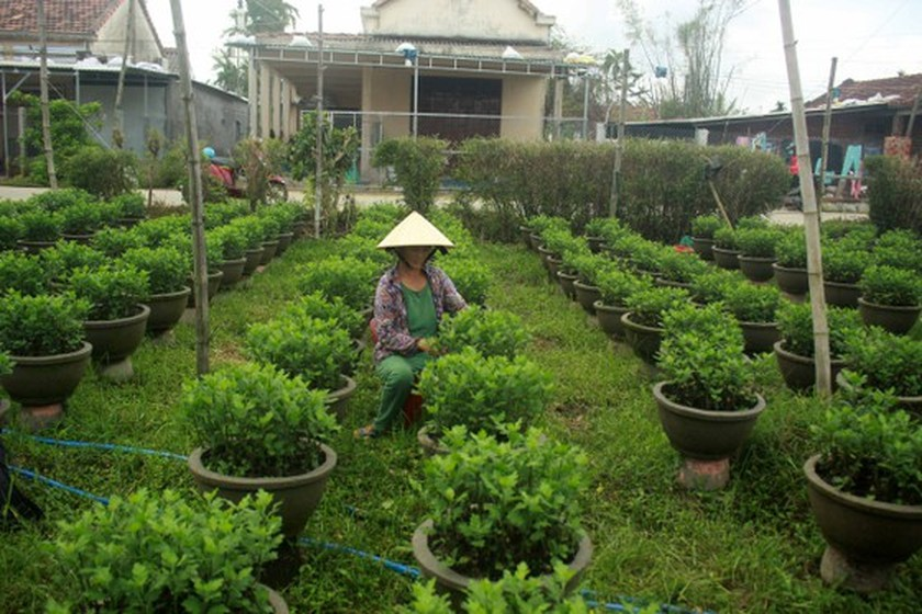 Flower growers in Central Vietnam restore ornamental flower after flood for Tet holiday market ảnh 2