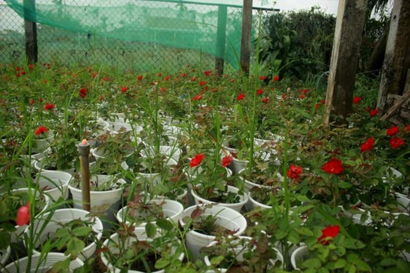 Flower growers in Central Vietnam restore ornamental flower after flood for Tet holiday market ảnh 4