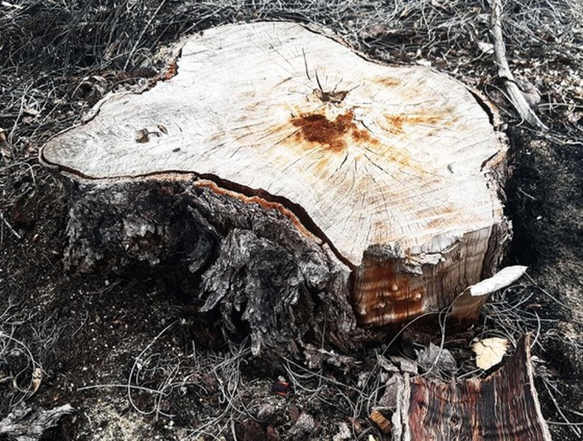 More than 140 hectares of forest destroyed in Binh Dinh  ảnh 1