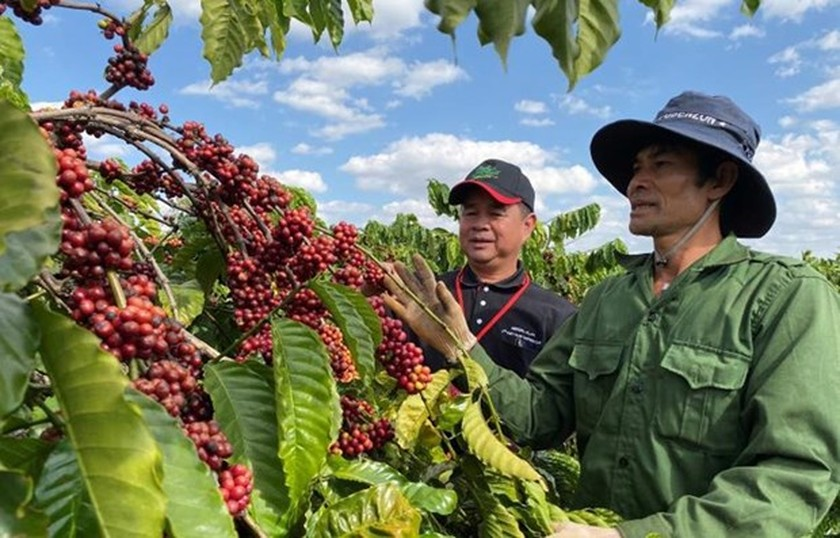 Coffee exports fall by over 11 percent in Q1 ảnh 1