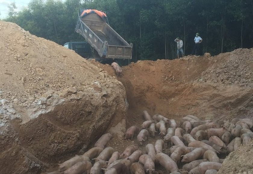 Quang Tri destroys nearly 1,000 pigs infected with African swine fever  ảnh 1