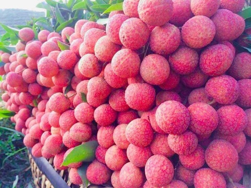 Bac Giang compiles three scenarios for lychee consumption amid Covid-19 ảnh 1