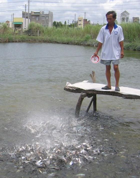 Price of pangasius fish exceeds VND30,000 per kilogram ảnh 1