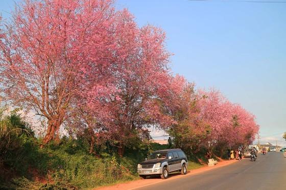 Wild himalayan cherry lures visitors to Da Lat city ảnh 2